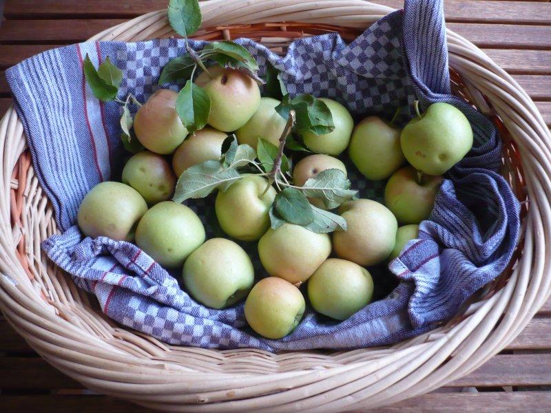 Vorzeitige Apfelernte