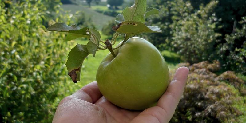 Wer will einen Apfel?